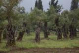 Olive trees oljka_MG_3328-1.jpg