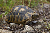 Hermann's tortoise Eurotestudo hermanni boettgerii gr¹ka ¾elva_MG_3858-1.jpg