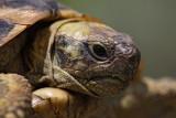 Hermann's tortoise Eurotestudo hermanni boettgerii gr¹ka ¾elva_MG_3870-1.jpg