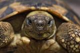 Hermann's tortoise Eurotestudo hermanni boettgerii gr¹ka ¾elva_MG_3881-1.jpg