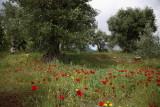 Olive trees and  poppies oljka in mak_MG_3905-1.jpg