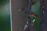 Black redstart Phoenicurus ochruros ¹marnica_MG_5468-1.jpg