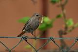 Black redstart Phoenicurus ochruros ¹marnica_MG_5427-1.jpg