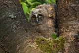 Young Long-eared owl mladiè male uharice_MG_5512-1.jpg