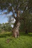 Olive tree oljka_MG_3934-1.jpg