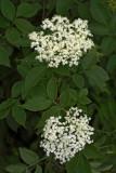 Common elderberry Sambucus nigra èrni bezeg_MG_5722-1.jpg