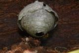 Wasp's nest osje gnezdo_MG_6065-1.jpg