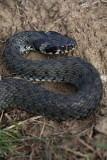 Grass snake Natrix natrix belou¹ka_MG_6738-1.jpg