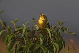 Yellowhammer  Emberiza citrinella rumeni strnad_MG_7933-1.jpg