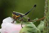 Eupholidoptera sp. _MG_7170-1.jpg