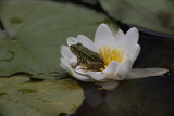 Edible frog Pelophylax kl. esculentus zelena �aba_MG_6676-1.jpg