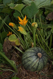 Oilseed pumpkin Cucurbita pepo oljna buèa_MG_8603-1.jpg