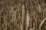 Wheat Triticum aestivum p¹enica_MG_8585-1.jpg