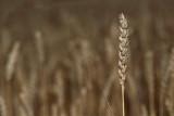 Wheat Triticum aestivum p¹enica_MG_8584-1.jpg
