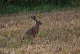 Brown hare Lepus europaeus poljski zajec_MG_8545-1.jpg