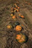 Oilseed pumpkin Cucurbita pepo oljna buèa_MG_1540-1.jpg