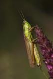 Euthystira brachyptera_MG_9118-1.jpg