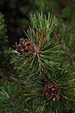 Mountain pine Pinus mugo ru¹evje_MG_0602-1.jpg