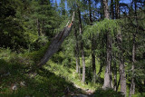 Alpine larch forest macesnv gozd_MG_0612-1.jpg