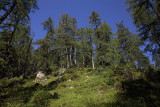 Alpine larch forest macesnov gozd_MG_0572-1.jpg