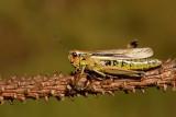 Large marsh grasshopper Stethophyma grossum_MG_1000-1.jpg