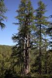 Alpine larch forest macesnov gozd__MG_0552-1.jpg