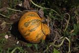 Oilseed pumpkin Cucurbita pepo buèa_MG_2593-1.jpg