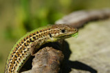 Balkan wall lizard Podarcis taurica balkanska ku¹èarica-PICT0084-1.jpg