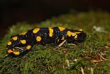 Spotted salamander Salamandra salamandra navadni močerad_MG_3474-1.jpg