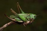 Wart-biter bush cricket Decticus verrucivorus navadna plenilka_MG_3282-1.jpg