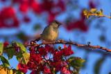 House sparrow Passer domesticus domači vrabec_MG_4862-1.jpg
