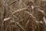 Wheat Triticum aestivum p¹enica_MG_9778-1.jpg