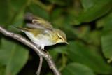 Willow warbler Phylloscopus trochilus kovaèek_MG_3992-1.jpg
