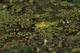Pool frog Pelophylax (Rana) lessonae pisana ¾aba_MG_0021-1.jpg