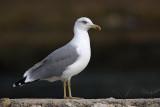 Yellow-legged gull Larus michahellis rumenonogi galeb_MG_5276-1.jpg