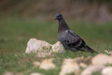 Rock dove Columba livia skalni golob_MG_5450-1.jpg
