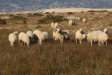 Sheep ovce_MG_4920-1.jpg