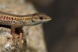 Snake-eyed lizard Ophisops elegans_MG_6463-1.jpg