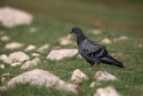 Rock dove Columba livia skalni golob_MG_5458-1.jpg