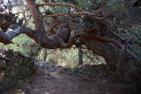 Turkish pine Pinus brutia _MG_5836-1.jpg