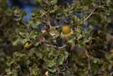 Kermes oak Quercus coccifera_MG_5714-1.jpg