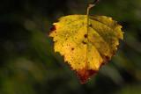 Birch leaf brezov list_MG_6789-1.jpg