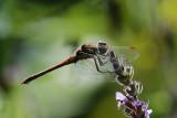Dragonflies At The Garden Pond
