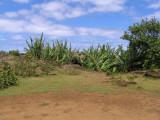 banana trees poking out of Ipu Maengo cave.....
