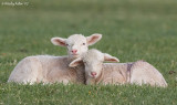 Lamb Babies