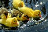 Ducklings, Saltram (1754)