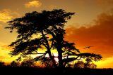 Cedar sunset, Martock