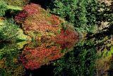 Red bush, Stourhead
