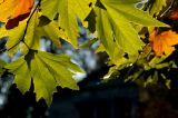 Giant leaves, Stourhead