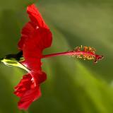 Red hibiscus, Miraflores